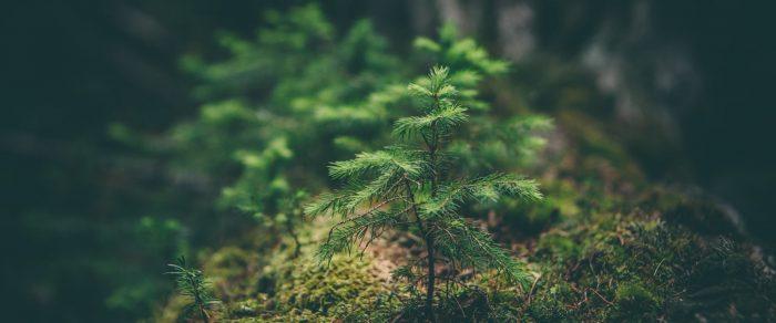 young sapling